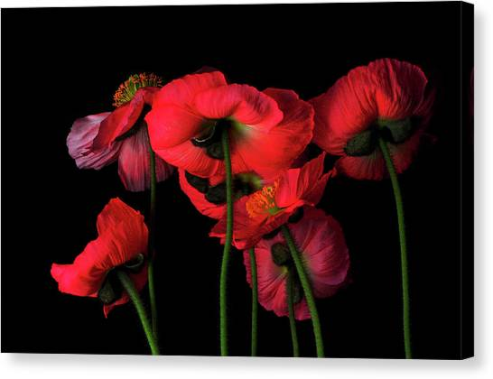 Icelandic Poppies - The View From Down Canvas Print