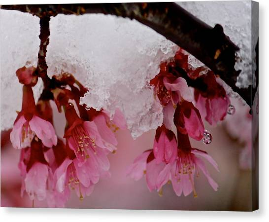 Icy Cherry Blossoms Canvas Print
