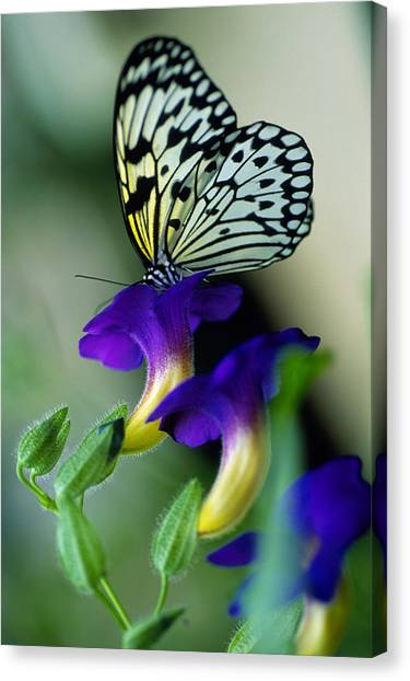 Idea Lecomoe Tree Nymph Butterfly On Canvas Print by David Q. Cavagnaro