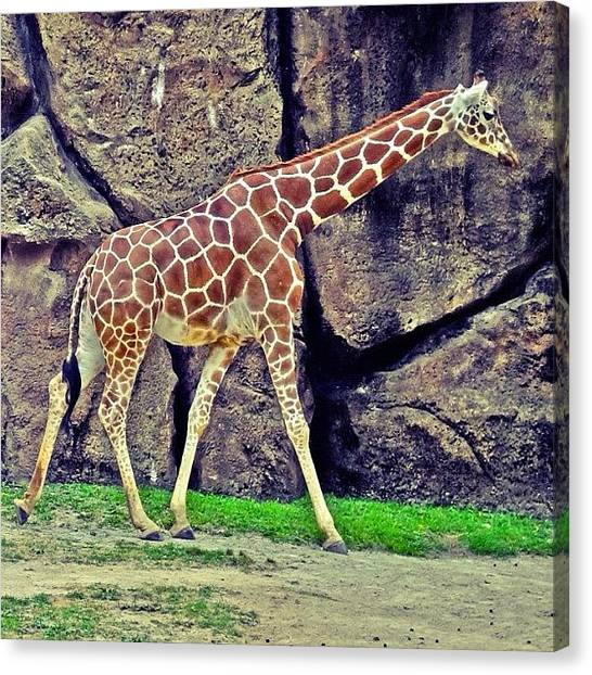 Giraffes Canvas Print - Ig Versus Sz Filters. I Can't Choose by Stacey Lewis