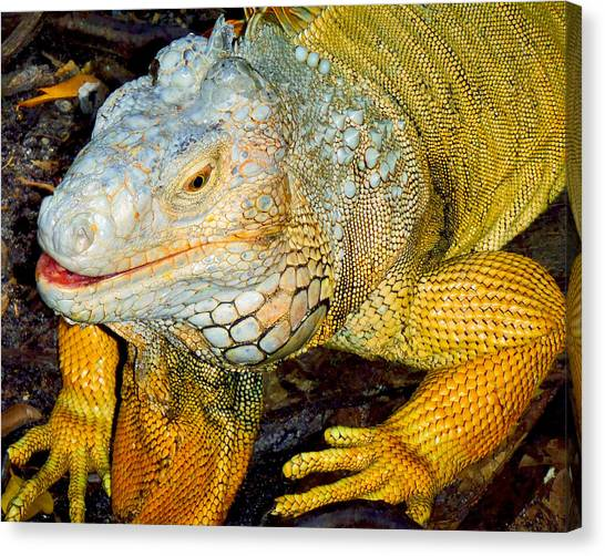 Iguanas Canvas Print - Iggy by Carey Chen