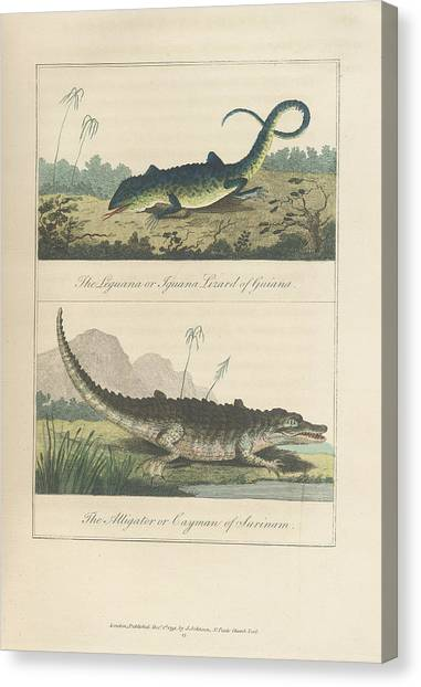 Iguanas Canvas Print - Iguana And Alligator by British Library