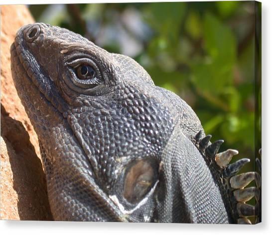 Iguana Closeup Canvas Print
