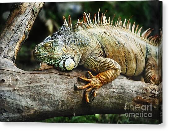 Lizards Canvas Print - Iguana by Jelena Jovanovic