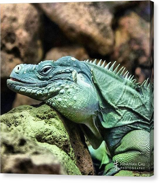Iguanas Canvas Print - #iguana #nationalzoo #dc #all_shots by Jonathan Chu