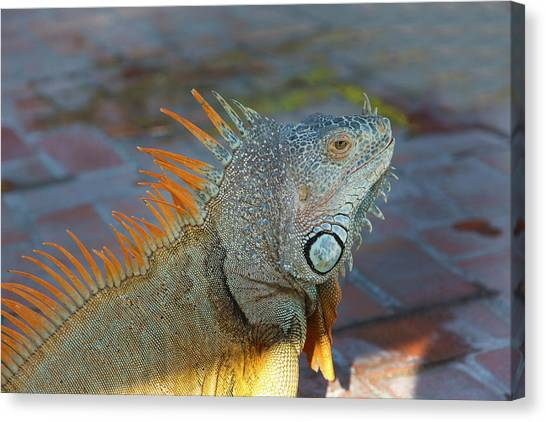 Iguanas Canvas Print - Iguana, Puerto Vallarta, Jalisco, Mexico by Douglas Peebles