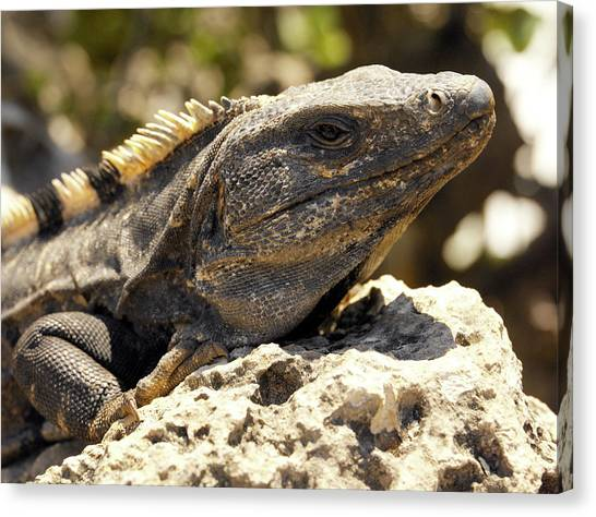 Iguanas Canvas Print - Iguana by Steve Allen/science Photo Library