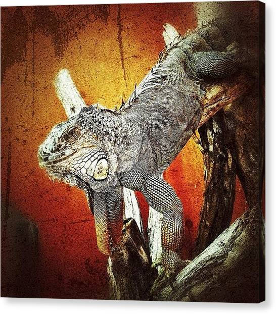 Iguanas Canvas Print - Iguana #webstagram #bestoftheday by Tanya Sperling