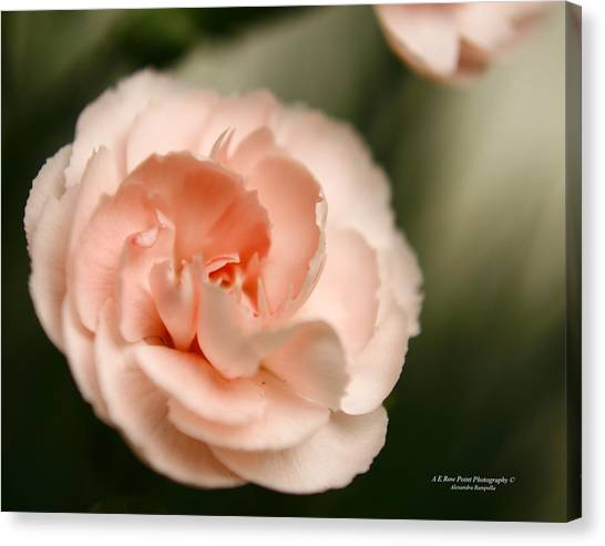 Illuminated Pinkness Canvas Print by Alexandra  Rampolla
