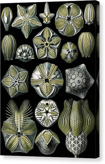 Dea Canvas Print - Illustration Shows Marine Animals. Blastoïdea by Artokoloro