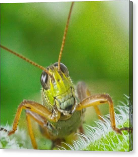 Grasshoppers Canvas Print - i'm A Cutie, And You Know It! by Vanessa Leblanc