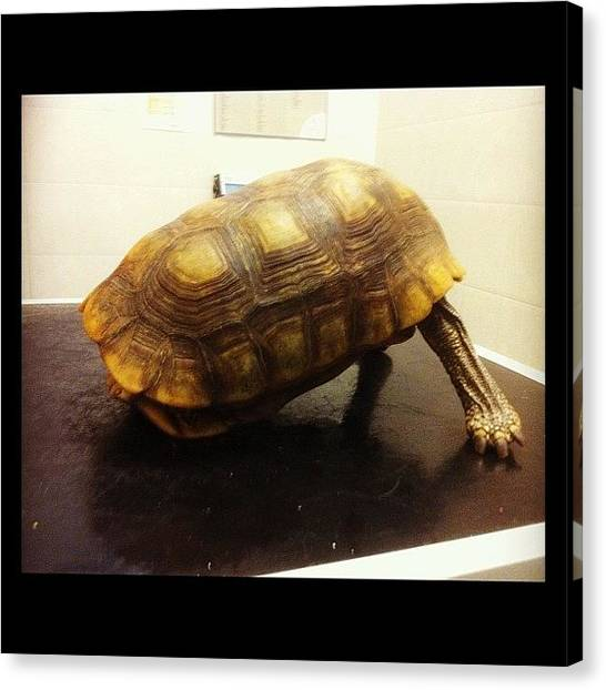 Tortoises Canvas Print - I'm Not Here Honestly by Hannah Bould MRCVS