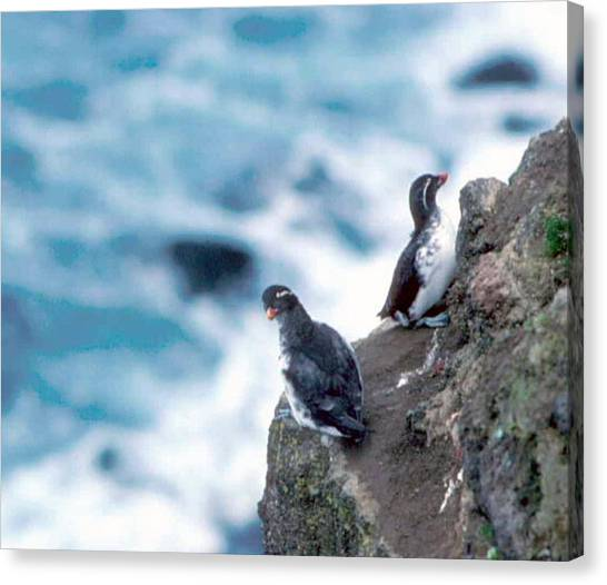 Auklets Canvas Print - I'm Not Talking To You Either by F Hughes