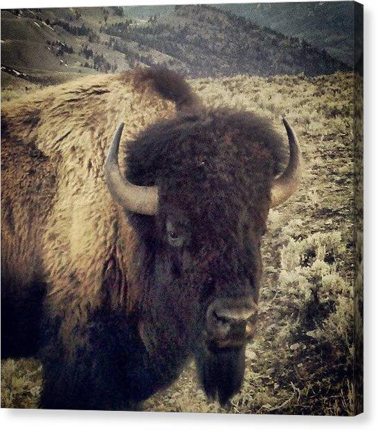 Yellowstone National Park Canvas Print - American Bison - Ynp by Denette Jacobson