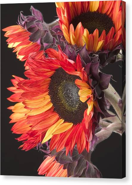 Imagination - Sunflower 01 Canvas Print