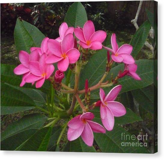 Fragipani Canvas Print - Immaculate Pink Plumerias by To-Tam Gerwe