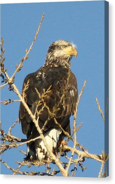 Immature Bald Eagle Canvas Print