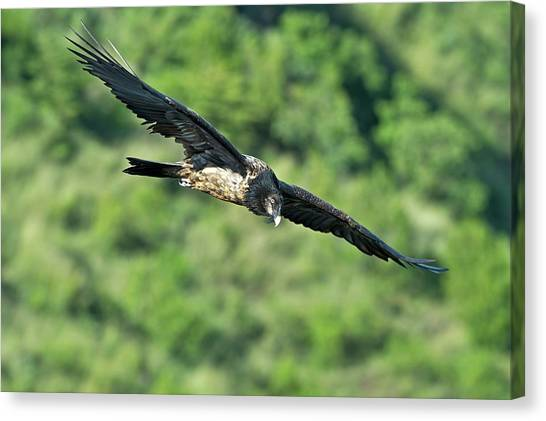 Vultures Canvas Print - Immature Bearded Vulture In Flight by Tony Camacho