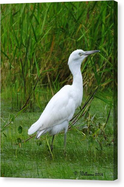 Immature Little Blue Heron Canvas Print