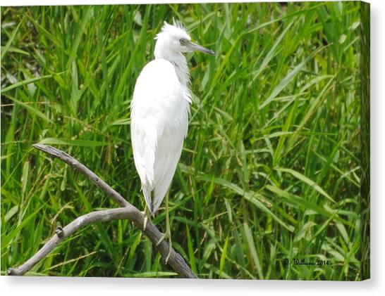 Immature Little Blue Heron On Watch Canvas Print