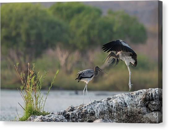 Immature Yellow-billed Storks At Play Canvas Print by Tony Camacho/science Photo Library