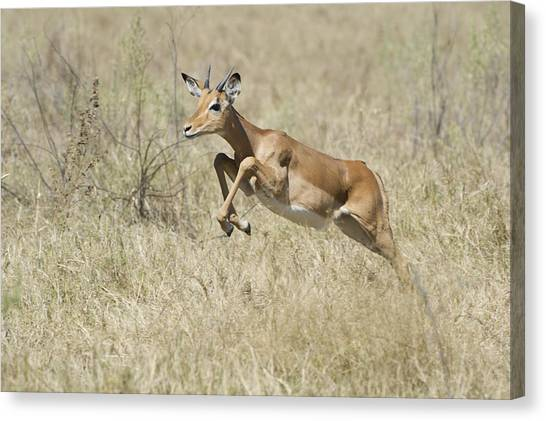 Impala Leaping Through Savanna Canvas Print by Richard Berry