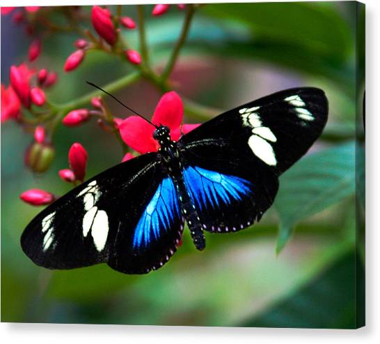 Imperfect Beauty In Black And Blue On Red Canvas Print