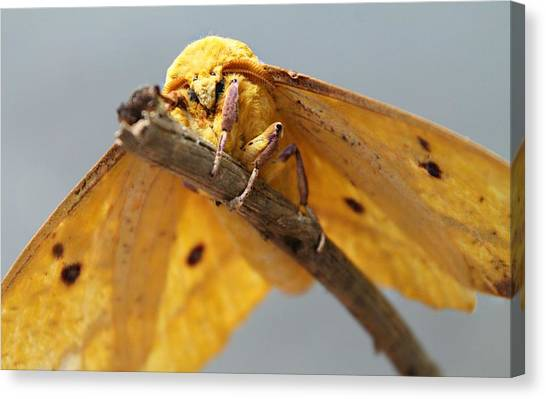 Canvas Print featuring the photograph Imperial Moth by Candice Trimble