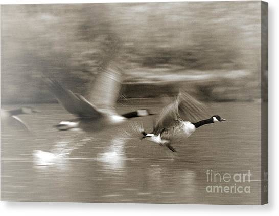 In A Blur Of Feathers Canvas Print
