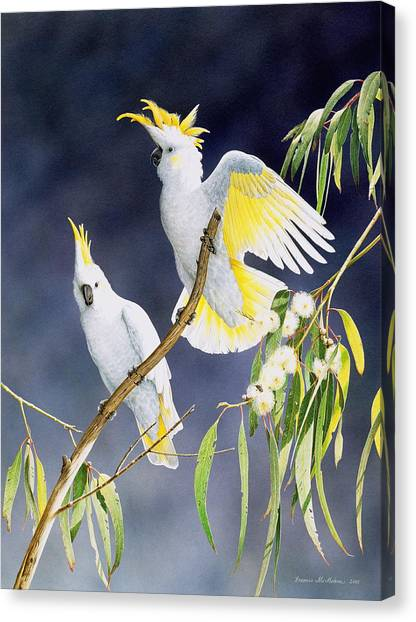 In A Shaft Of Sunlight - Sulphur-crested Cockatoos Canvas Print