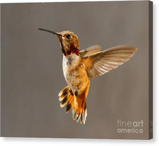 Selasphorus Canvas Print - In-flight Pose For The Camera by Carl Jackson