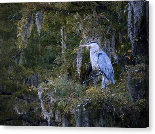 Great Cypress Canvas Print - In His Element  by JC Findley
