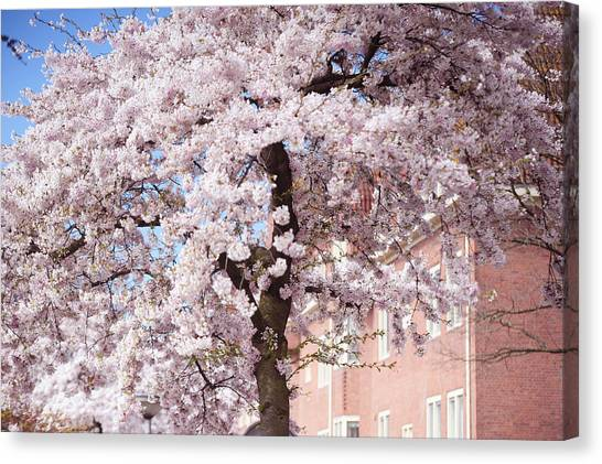 In Its Glory. Pink Spring In Amsterdam Canvas Print