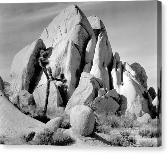 In Joshua Tree National Monument 1942 Canvas Print by Ansel Adams