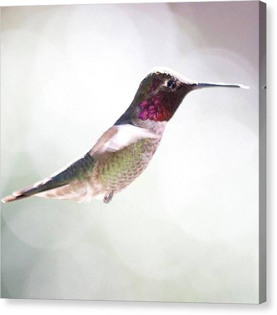 Hummingbirds Canvas Print - In Our Bright Warm California Weather by Patty Warwick