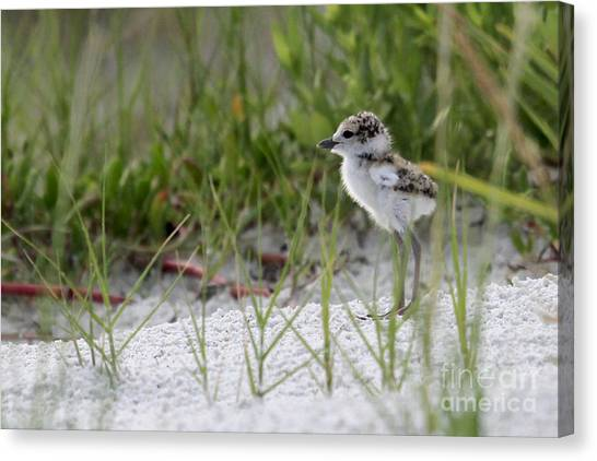 In The Grass - Wilson's Plover Chick Canvas Print