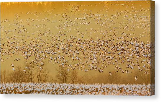 Geese Canvas Print - In The Magic Golden Would by David Hua