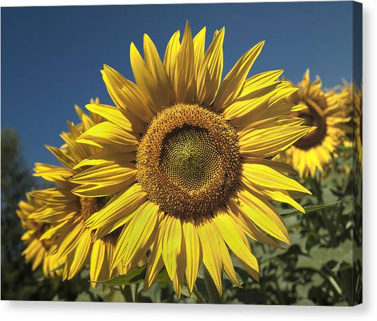 Sunflower Seeds Canvas Print - In Your Face by Nigel Jones