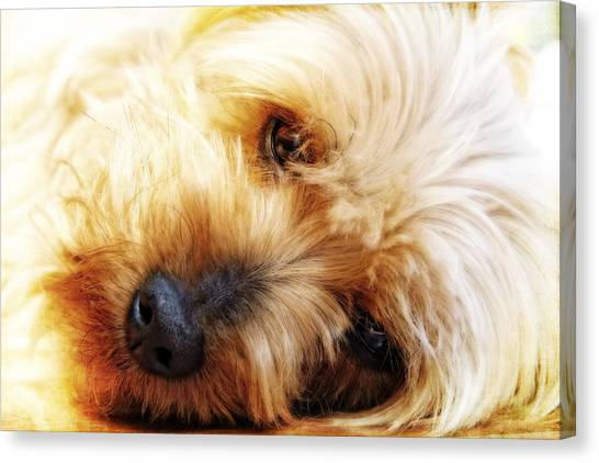 In Your Yorkie Dreams Canvas Print