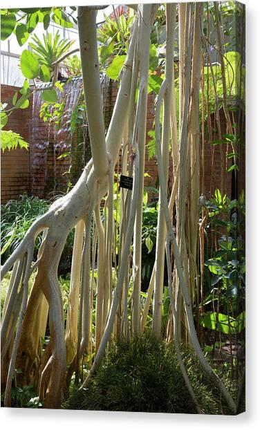University Of Michigan Canvas Print - Indian Banyan Tree (ficus Benghalensis) by Jim West