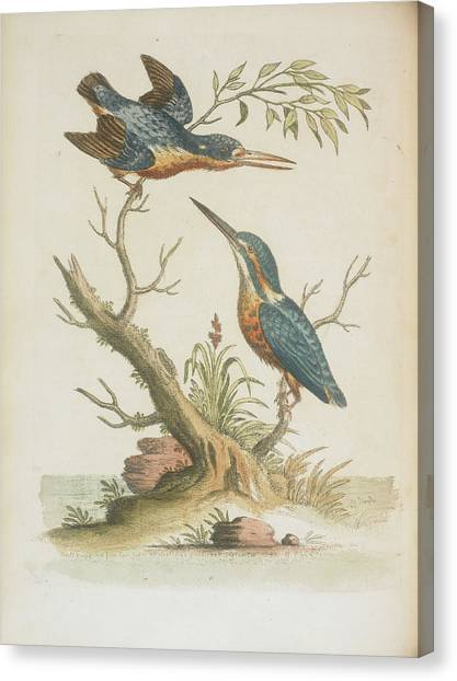 Kingfisher Canvas Print - Indian Kingfishers by British Library