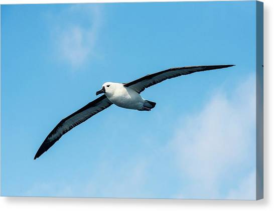 Southern Africa Canvas Print - Indian Ocean Yellow-nosed Albatross by Peter Chadwick