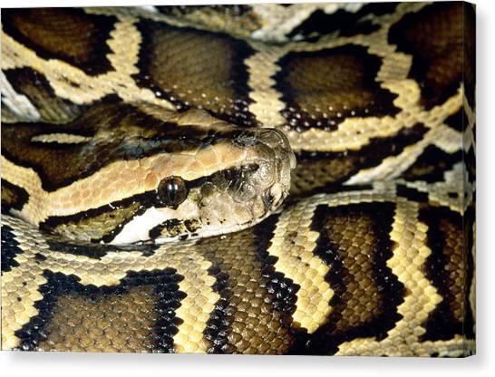 Burmese Pythons Canvas Print - Indian Or Burmese Python by Simon D. Pollard