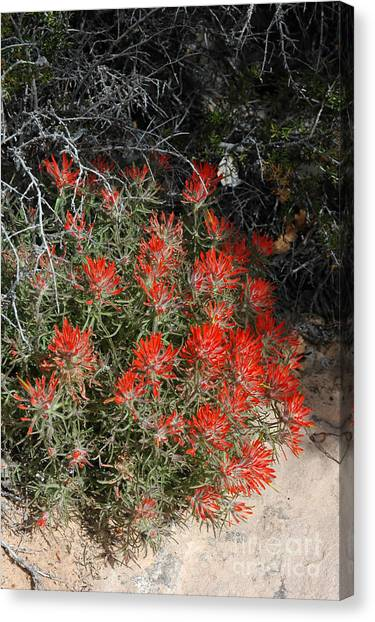 333p Indian Paintbrush Flower Canvas Print