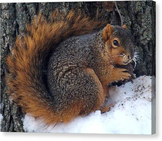 Indiana Squirrel In Winter With Nut Canvas Print