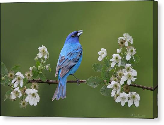 Indigo Bunting On Berry Blossoms Canvas Print