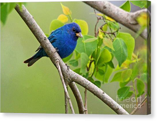 Blue Indigo Bunting Bird  Canvas Print