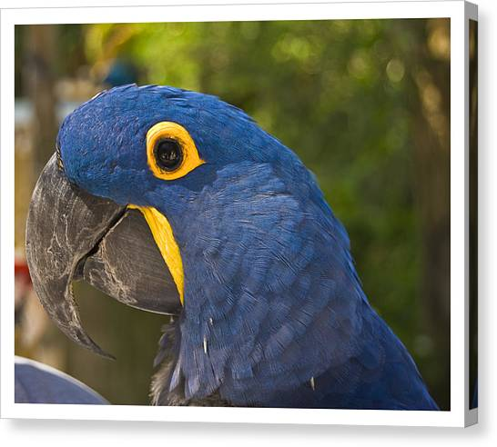 Indigo Macaw Canvas Print