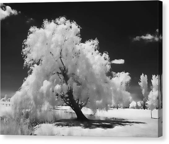 Infrared Willow Tree Study  Canvas Print