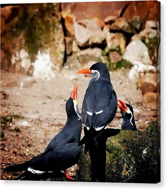 Swallows Canvas Print - Inka Sea Swallow. - | #swallow by Manuela Kohl